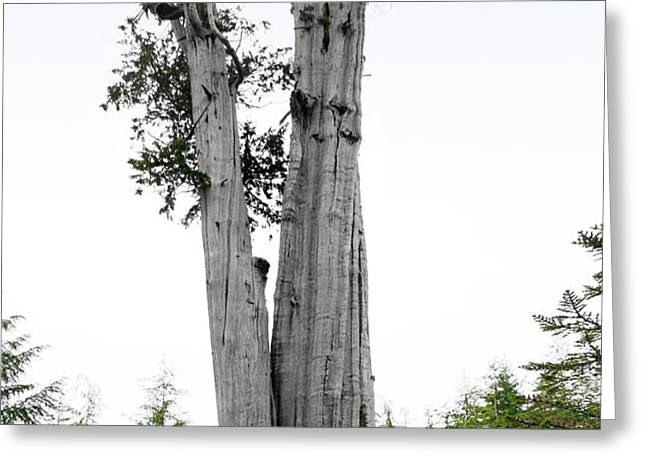 Life at the Top - Duncan Cedar Olympic National Park WA Greeting Card by Christine Till