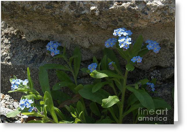 """forget Me Not Flowers"" Greeting Cards - Life will Prevail Greeting Card by Anna Lisa Yoder"