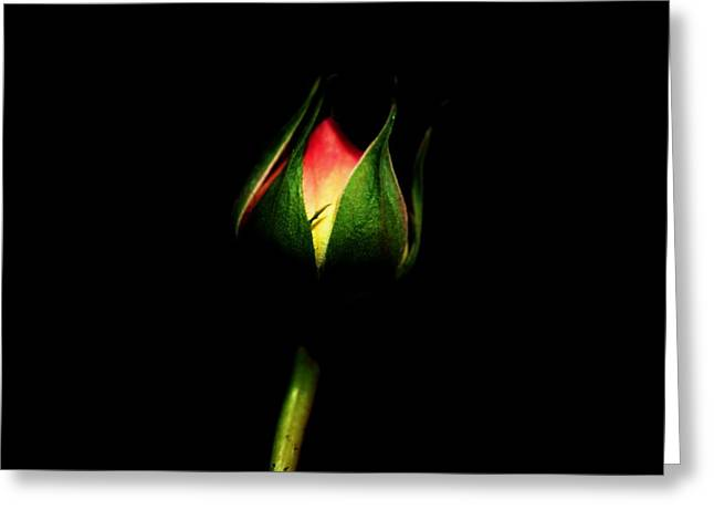 Rosebush Greeting Cards - Light in the Darkness Greeting Card by Helen Carson