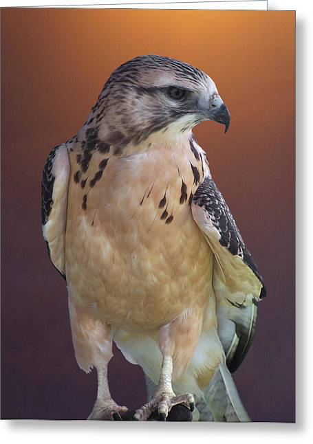 Morph Greeting Cards - Light morph immature Swainsons Hawk Greeting Card by Ernie Echols