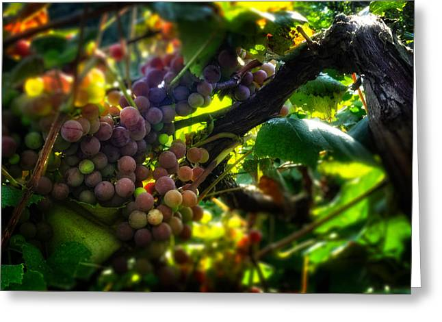 Grape Vineyard Greeting Cards - Light On The Fruit Greeting Card by Greg Mimbs