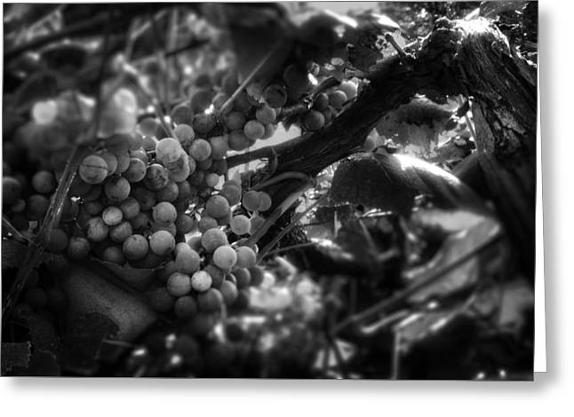 Grape Vines Greeting Cards - Light On The Fruit in Black and White Greeting Card by Greg Mimbs