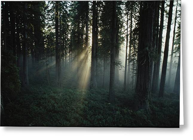 Woodland Views Greeting Cards - Light Passes Through A Clearcut Done Greeting Card by James P. Blair