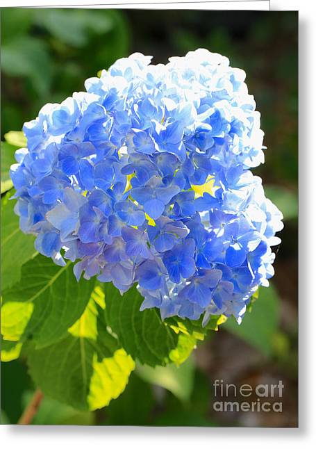 Recently Sold -  - Blue And Green Greeting Cards - Light through Blue Hydrangeas Greeting Card by Carol Groenen