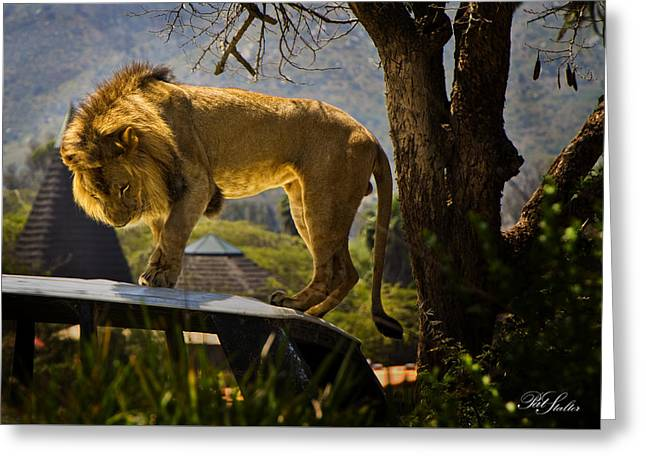Lions Greeting Cards - Lighted Lion Greeting Card by Patricia Stalter