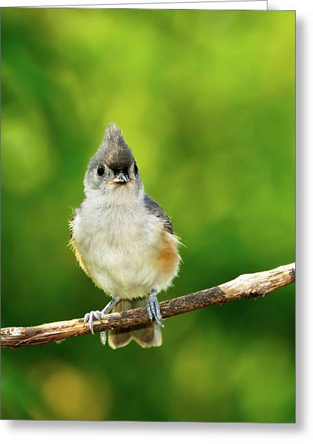 Tufted Titmouse Greeting Cards - Liking My Style Greeting Card by Betty LaRue