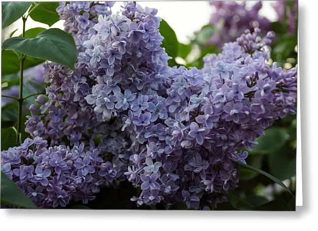 Van Gogh Style Photographs Greeting Cards - Lilac 3 Greeting Card by Lana Art