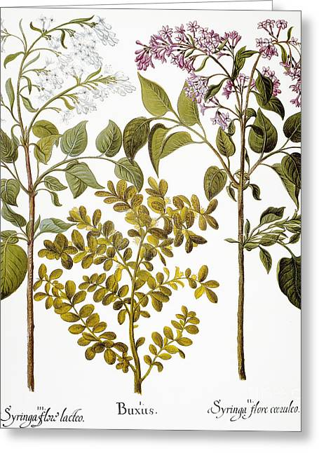 Oleaceae Greeting Cards - Lilac And Box, 1613 Greeting Card by Granger