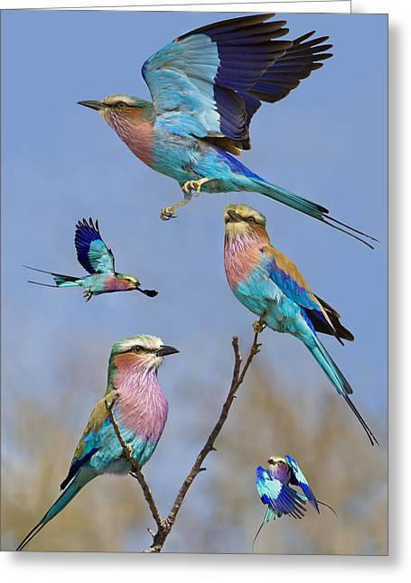 Bird In Flight Greeting Cards - Lilac-breasted Roller Collage Greeting Card by Basie Van Zyl