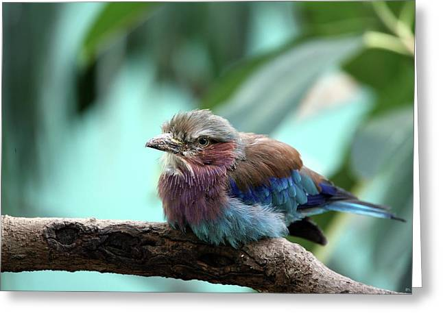 Lilac Roller Greeting Cards - Lilac Breasted Roller Greeting Card by Karol  Livote