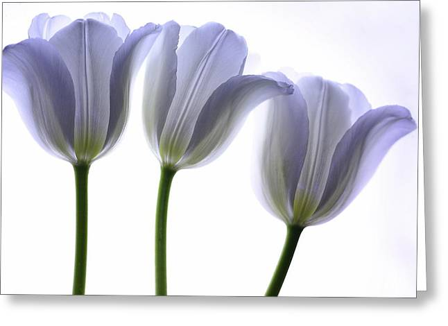 Purple Tulips Greeting Cards - Lilac Chiffon Greeting Card by Rebecca Cozart