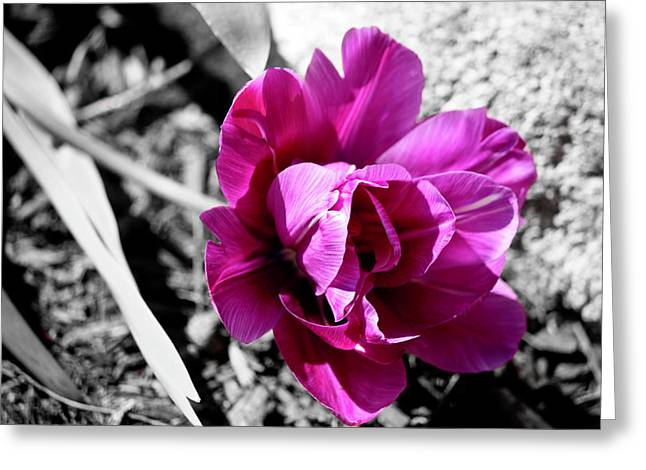 Lilac Tulip Flower Greeting Cards - Lilac Perfection Tulip Desaturated Greeting Card by Teresa Mucha