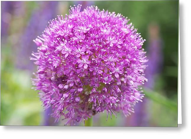 Lilac-pink Allium Greeting Card by Rona Black