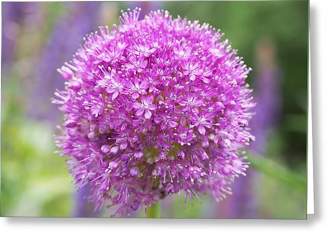 Botanicals Photographs Greeting Cards - Lilac-pink Allium Greeting Card by Rona Black