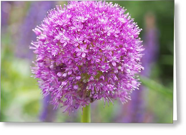 Square Format Greeting Cards - Lilac-pink Allium Greeting Card by Rona Black