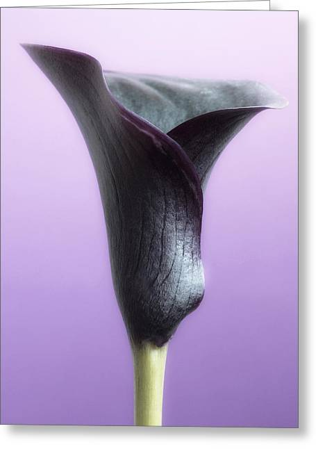 Flowers Posters Greeting Cards - Lilac Purple Calla Flower Greeting Card by Artecco Fine Art Photography
