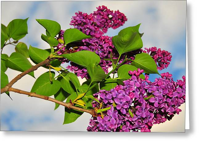Catherine Greeting Cards - Lilacs Greeting Card by Catherine Reusch  Daley