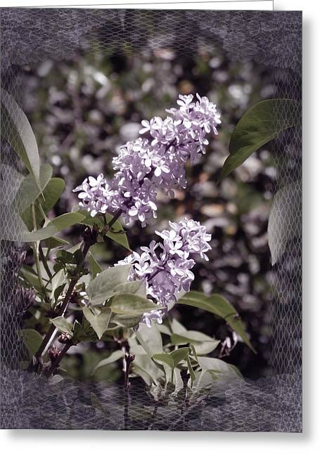 Lilac Flower Greeting Cards - Lilacs in Lace Greeting Card by Laura Iverson