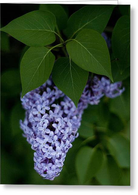 Lilacs Greeting Card by Rockstar Artworks