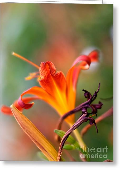 Petal Greeting Cards - Lilly flowers Greeting Card by Nailia Schwarz