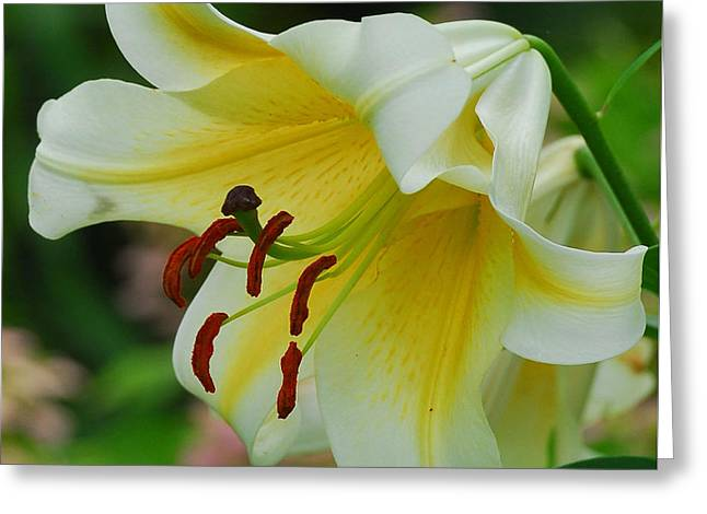 Day Lilly Greeting Cards - Lilly in Bloom Greeting Card by Maria Martinez