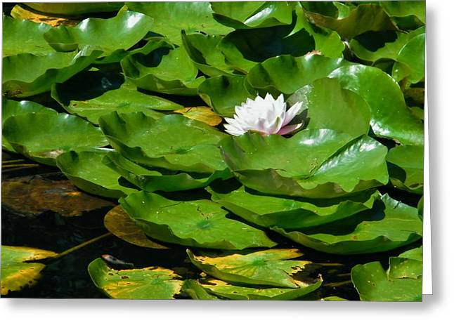 Water Lilly Greeting Cards - Lilly Pads and Bloom    Indiana  Summer Greeting Card by Rory Cubel