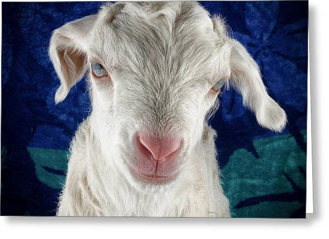Goat Photographs Greeting Cards - Lilo Is Not Impressed. Greeting Card by TC Morgan