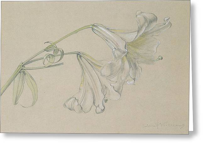 Flower Blooms Drawings Greeting Cards - Lily Greeting Card by Albert Williams
