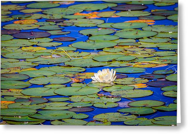 Ebbetts Pass Greeting Cards - Lily in Bloom Greeting Card by Cristi Canepa