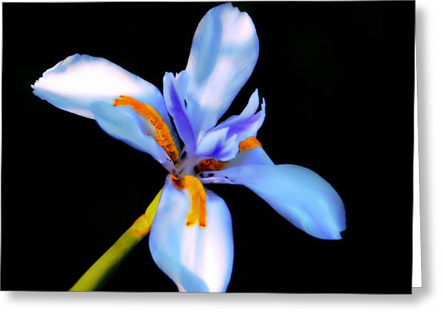 Stamen Digital Art Greeting Cards - Lily in Blue Greeting Card by Lyle  Huisken
