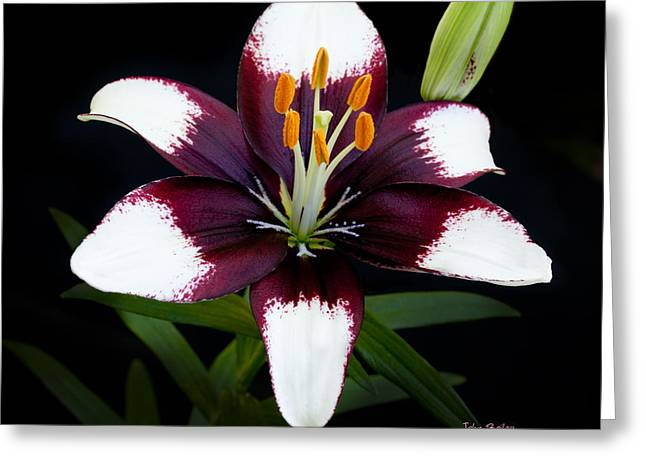 White Digital Art Greeting Cards - Lily Greeting Card by John Bailey