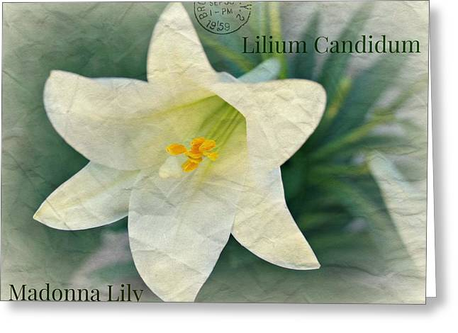Candidum Greeting Cards - Lily Greeting Card by Kathy Bucari