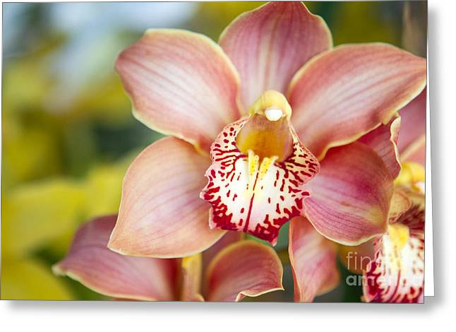 Lily-like Lovelies  Greeting Card by A New Focus Photography