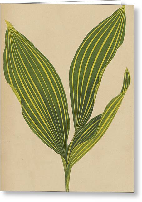 Lily Of The Valley Greeting Card by English School