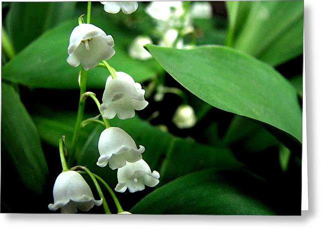 Spring Bulbs Digital Greeting Cards - Lily of the Valley  Greeting Card by Michelle Calkins