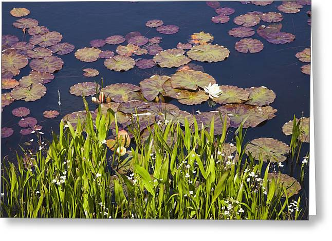 County Cork Greeting Cards - Lily Pads In A Lake Near Dunmanus Bay Greeting Card by Peter Zoeller