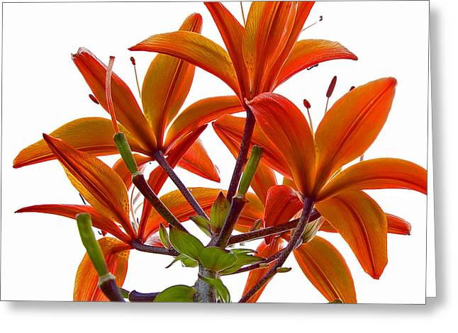 Unfold Greeting Cards - Lily Greeting Card by Robert Knight