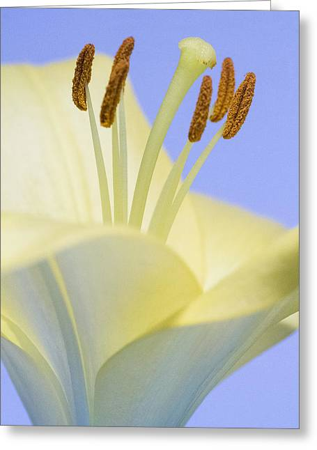 Stamen Pyrography Greeting Cards - Lily Stamens  Greeting Card by Diane Fifield