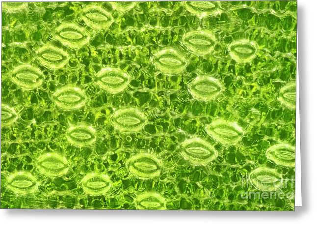 Stellate Photographs Greeting Cards - Lily Stomata, Darkfield Microscopy Greeting Card by M. I. Walker