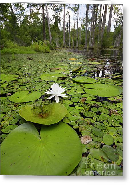 Lilypad Greeting Cards - Lilypads and Flower in the Cypress Swamp Greeting Card by Dustin K Ryan