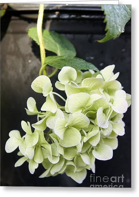 Limelight Greeting Cards - Limelight Hydrangea Greeting Card by Lilliana Mendez