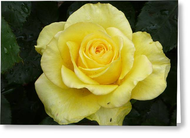 Limelight Greeting Cards - Limelight rose Greeting Card by Deborah Ward