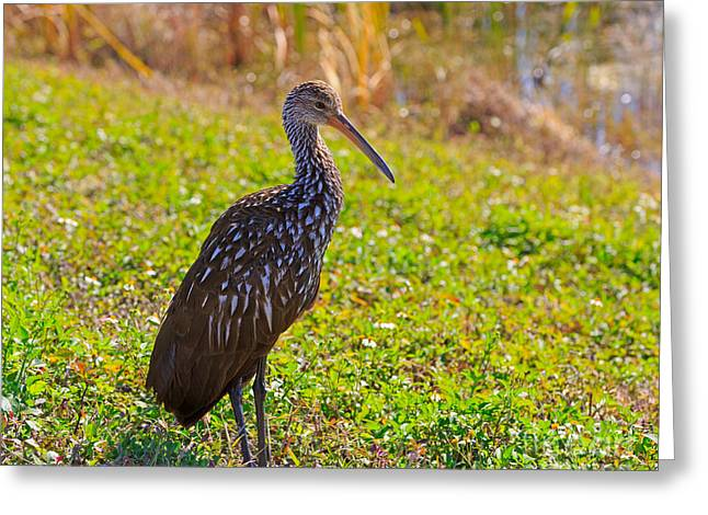Carrao Greeting Cards - Limpkin Greeting Card by Louise Heusinkveld