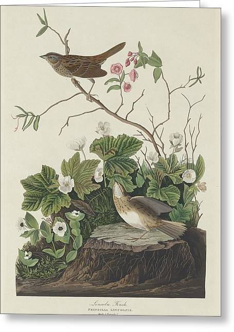 Small Bird Greeting Cards - Lincoln Finch Greeting Card by John James Audubon