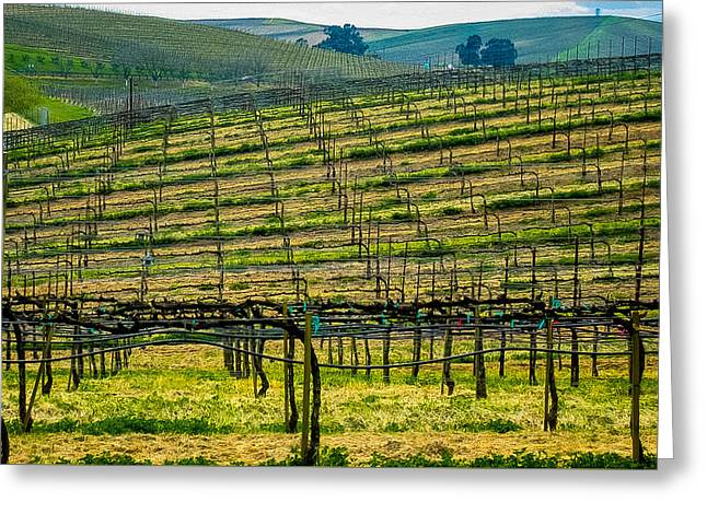 Grape Vineyard Greeting Cards - Lined Up Rows Greeting Card by Mark Beecher