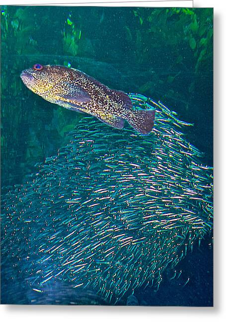 School Of Sardine Greeting Cards - Lingcod and School of Sardines in Monterey Aquarium-California  Greeting Card by Ruth Hager