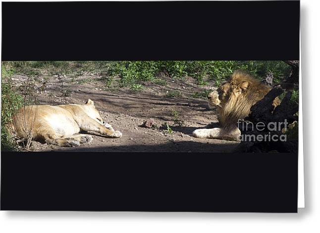 Lioness Greeting Cards - Lion and lioness Greeting Card by Karen Foley