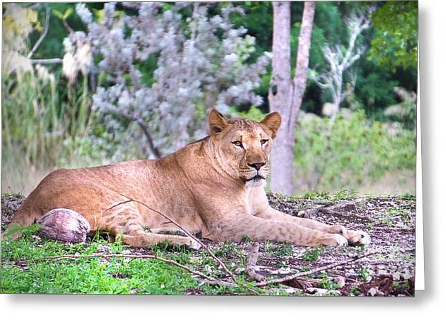Lion Around Greeting Card by Judy Kay