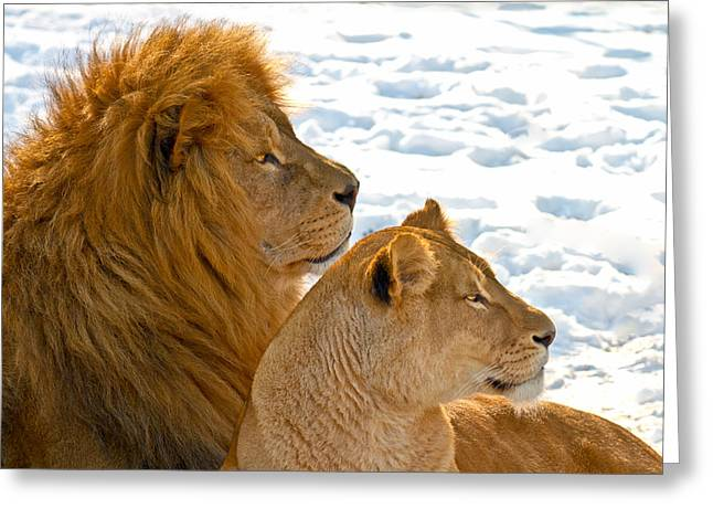 Felines Photographs Greeting Cards - Lion couple in the snow Greeting Card by Gert Lavsen