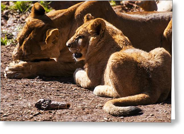 Lion Cub With Lioness Greeting Card by Chris Flees